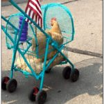 Pet Chicken Stroller