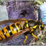 Getting Rid Of Yellow Jacket Nest In Ground